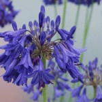 Agapanthus 'Bressingham Blue'