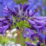Agapanthus 'Purple Delight'