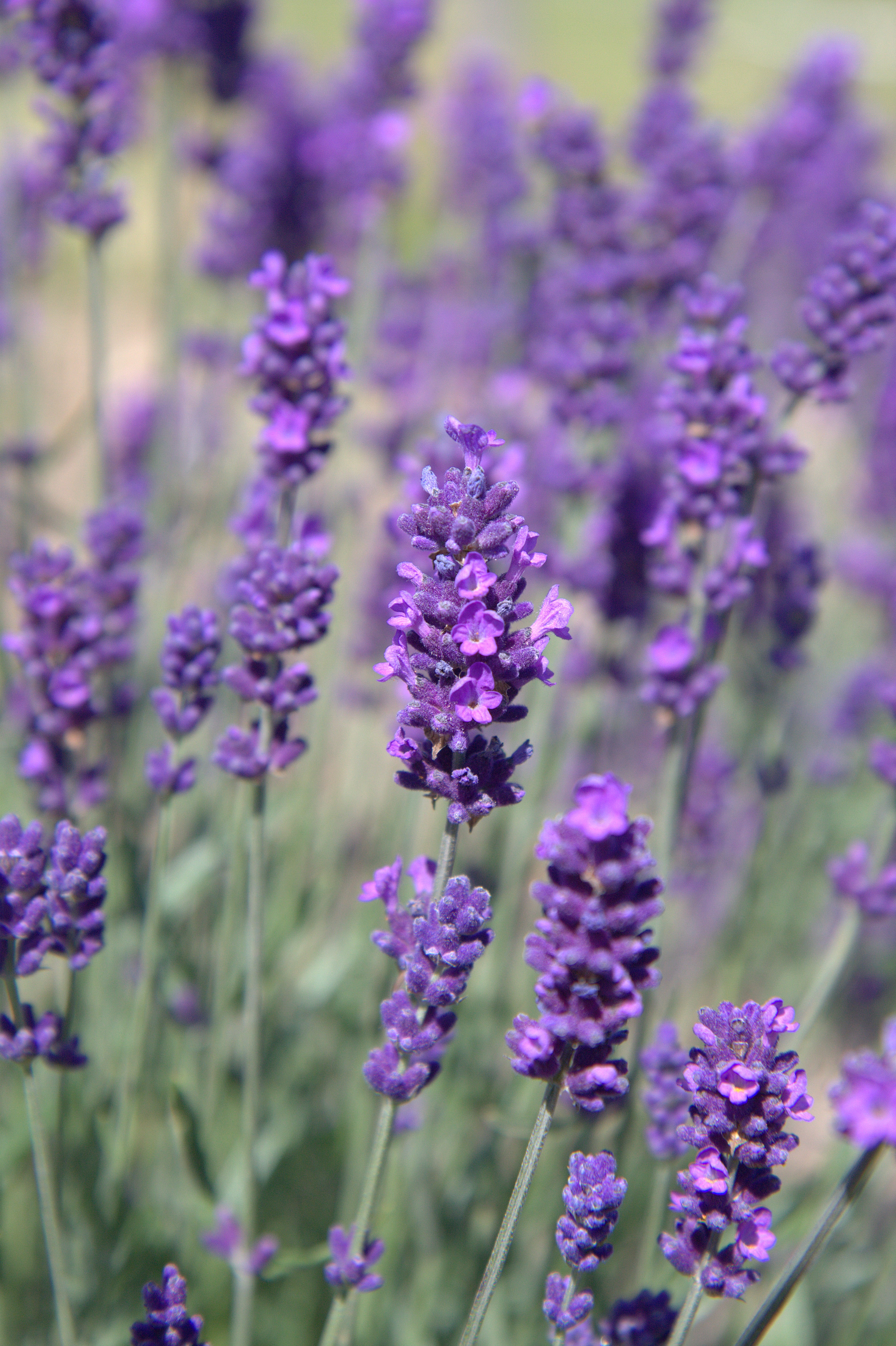 Wholesale Lavender Plants - Fairweather's Nursery