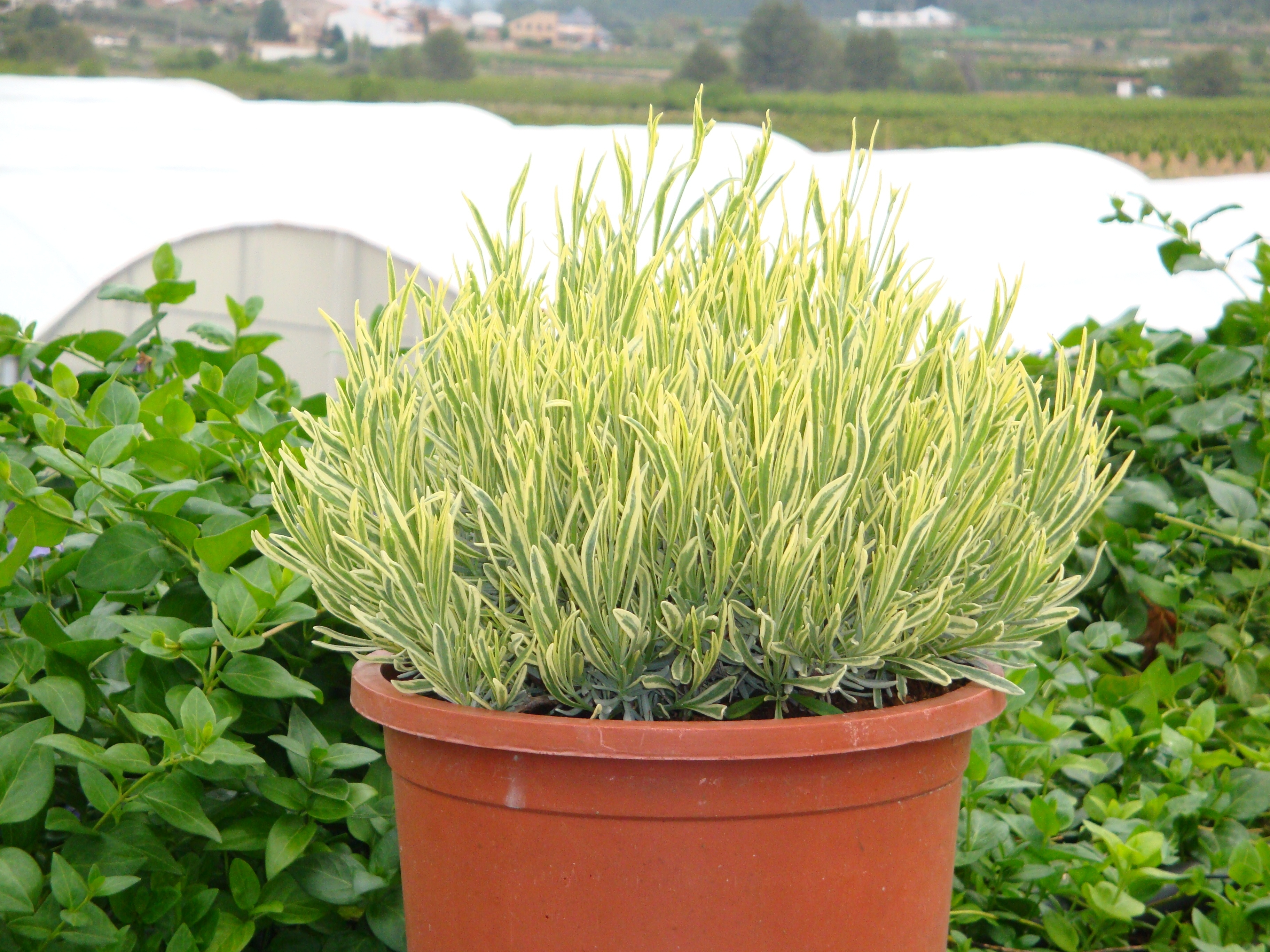Wholesale Lavender Plants - Fairweather\u0027s Nursery