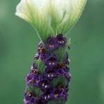 Lavender s. 'Tiara'