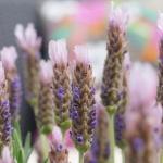 Lavender s. 'Lusi Pink'