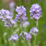 Lavandula angustifolia Blue Ice