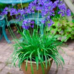 Agapanthus Brillant Blue