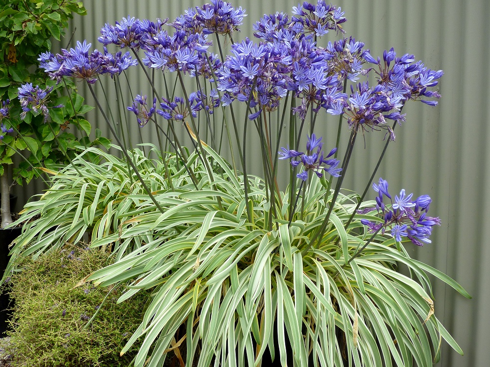 Wholesale agapanthus plants from fairweather 39 s nursery for Cheap garden plants