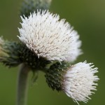 Cirsium Frosted Magic