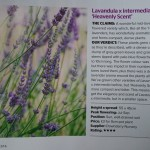 Lavandula Heavenly Scent